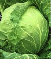 Cabbage Copenhagen Great Heirloom Vegetable 250 Seeds By Seed Kingdom