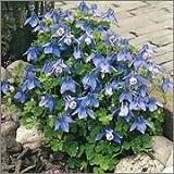 BM Plants Aquilegia flabellata var.pumila 'Atlantis' , 1L , Columbine , Granny's Bonnets , Perennial