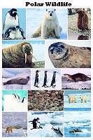 Polar Wildlife, Poster