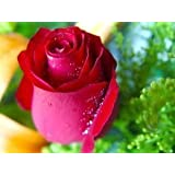 Red rose 5 seeds great color easy to grow for Growing rainbow roses from seeds