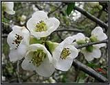BM Plants Galanthus nivalis - classic , native snowdrops , 50 bulbs