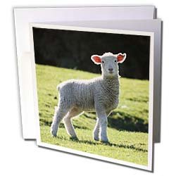 Albom Design Animals Adorable Lamb New Zealand Greeting Cards 12 Greeting Cards with envelopes