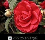 Tom Knudsen Camellia, Five Gallon Container by Monrovia Growers