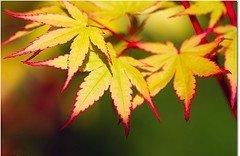 Coral Bark Japanese Maple 2 - Year Graft