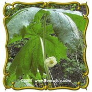 May Apple Podophyllum