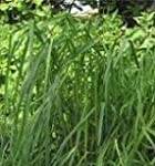 Herb Seeds - Cat's Grass - 5000 Seeds