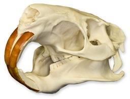 Nutria Skull (Natural Bone Quality A)