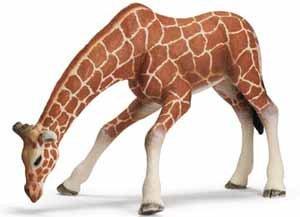 Giraffe Female, Drinking - 1