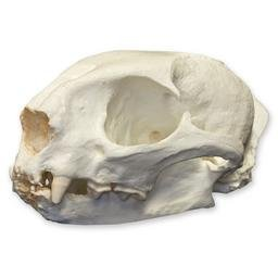 Jaguarundi Skull (Teaching Quality Replica)