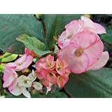 Euphorbia Milii Crown of Thorns PINK MARBLES LG BLOOM rooted cutting