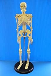 Desk Top Skeleton Model