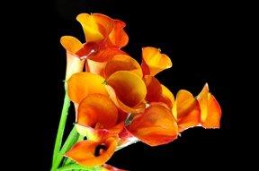 Mini Calla Lilies Mango Orange 120 Flowers