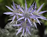 Sea holly (Eryngium bourgatii Picos Amethyst)