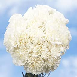 200 Fresh Cut White Carnations | Fresh Flowers Wholesale Express Delivery | Perfect for Birthdays, Anniversary or any occasion.
