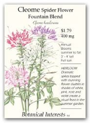 Cleome Spider Flower Fountain Blend Seeds 125 Seeds