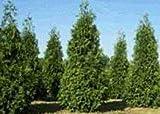 "25 Thuja Green Giant Arborvitae 10-16"" Tall Trees"