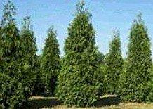 10-thuja-green-giant-arborvitae-8-12-tall-trees