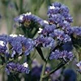 Limonium sinuatum 'Pale Blue' / Statice / Seeds