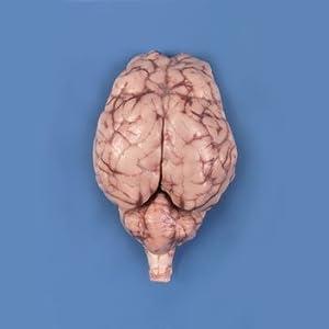 Carolina's Perfect Solution Sheep Brain, Dura mater removed; optic