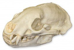 American Badger Skull (Teaching Quality Replica)