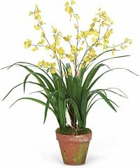 Dancing Orchid in Mossed Pot