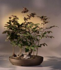 Buy Purple Beech Bonsai Tree.(fagus sylvatica 'purpurea')