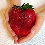 Giant Strawberry Seeds by National Gardens