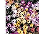 Mesembryanthemum Criniflorum Magic Carpet Mixed Seeds by T and M