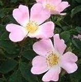 Wildflower - Dog Rose - 50 Seeds