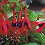 Just Seed - FLOWER - FUCHSIA MAGELLANICA - 200 SEED - Large Pack