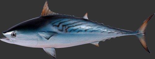Mackerel Tuna Statue ---Coming Soon---