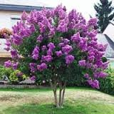 CrapeMyrtleGuy Semi Dwarf Purple Zuni Trees (Pack of 4) (Color: Purple)