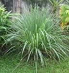 Herb Seeds - Lemon Grass - 500 Seeds