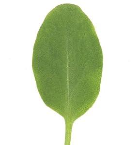 Greens Sorrel 1000 Organic Seeds by David's Garden Seeds