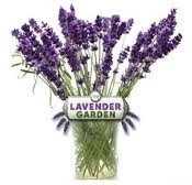 English Lavender Garden Set of Three Official As Seen On TV Plant