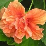 Plants Guru Hibiscus Orange Double