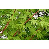 Sango Kaku Japanese Maple - Live Plant - Trade Gallon Pot