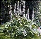 BM Plants Alchemilla mollis AGM , 2L , Lady's Mantle , Perennial