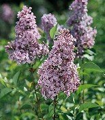 Buy Chinese Lilac Plant One Gallon