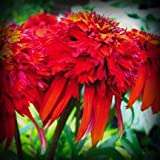 Hot Papaya Coneflower Seed Pack