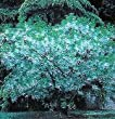 Five Gallon White Fringe Tree