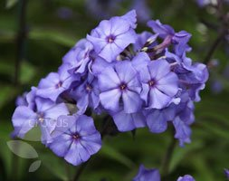 border phlox (Phlox paniculata Blue Paradise)