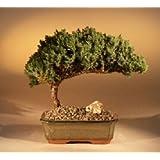 Bonsaiboy Juniper Bonsai Tree - Medium Juniper Procumbens Nana