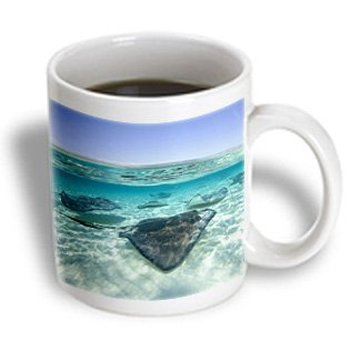 3dRose Cayman Islands, Southern Stingray in Caribbean Sea-Ca42 Pso0044 - Paul Souders - Ceramic Mug, 11-Ounce (mug_73261_1)
