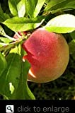 Honey Babe Dwarf Peach Tree Five Gallon