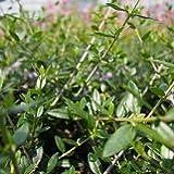 【常緑小高木】  オリーブ (観賞用) 2株セット 【寄せ植え】