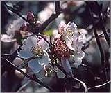 BM Plants Chaenomeles contorta 'Rosea' , 3L , Flowering quince , Shrub