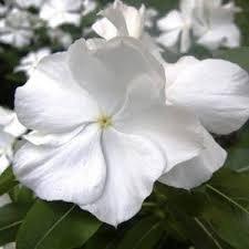 avipacifica-white-vincaseedspristine-periwinkle