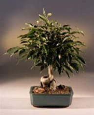 Bonsai Boy's Oriental Ficus Bonsai Tr…