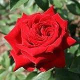 バラ苗 イングリッドバーグマン 輸入大苗6号鉢 ハイブリッドティー (HT) 四季咲き大輪 赤系